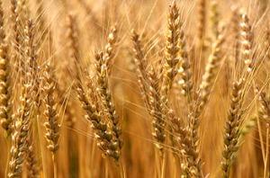 سنابل القمح