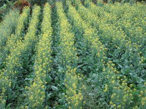 حقل مزروع بنبات  الخردل