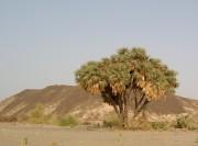ثمار نبات الدوم تخفض ضغط الدم d8a3d8b4d8acd8a7d8b1