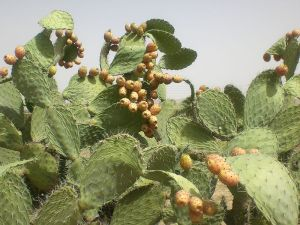 البرشومي Cactus