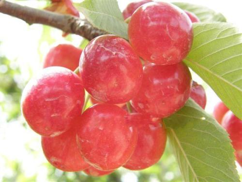 ثمار الكرز