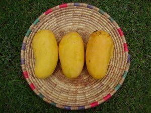ثمار المانجو