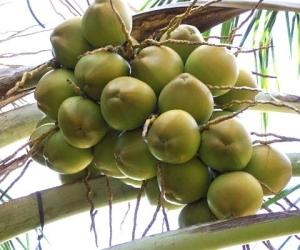 ثمار جوز هند يانعة