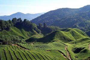 حقول الشاي