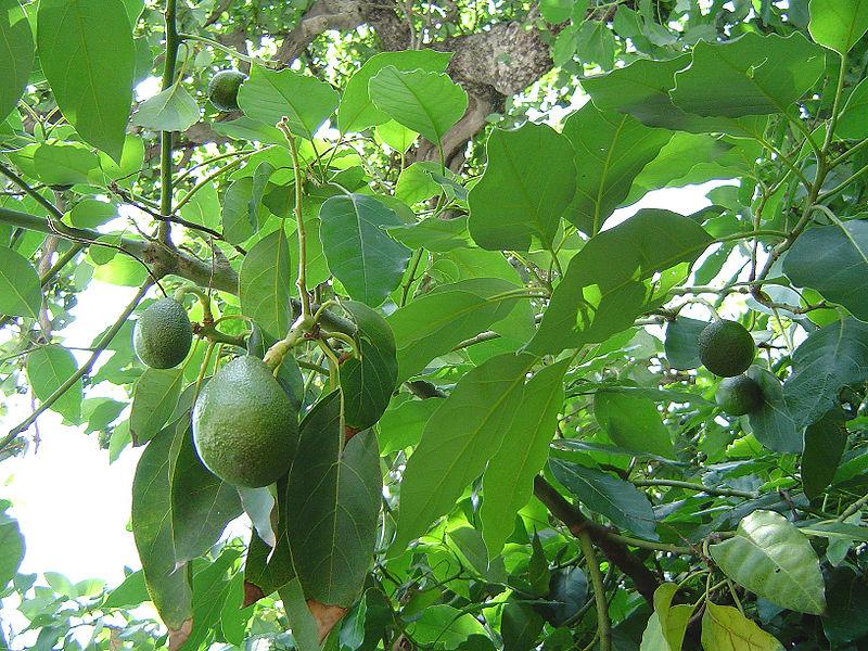 شجرة الدارسين