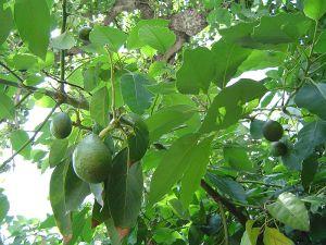 شجرة أفوكادو مثمرة