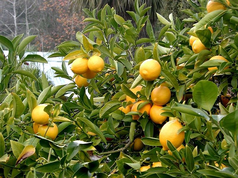 for Lemon plant images