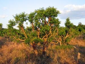 شجرة المتة انقر للتكبير