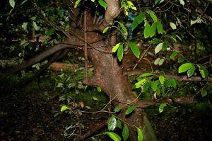 شجرة جوز طيب