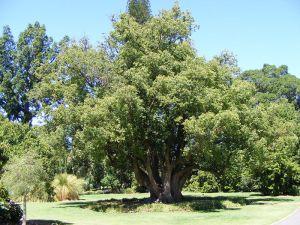 شجرة كافور عملاقة