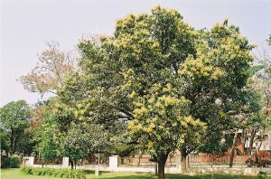 شجرة مانجو