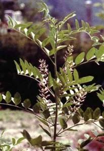 غصين شجرة العرقسوس