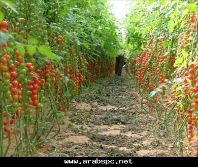نبات البندورة وافرة العطاء