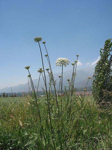 نبات الخلة انقر للتكبير