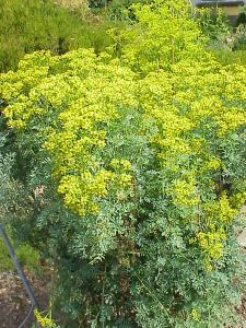 نبات السذاب
