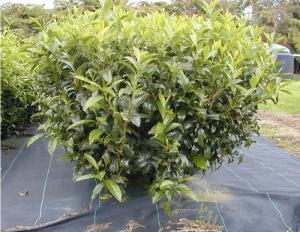 نبات الشاي انقر للتكبير