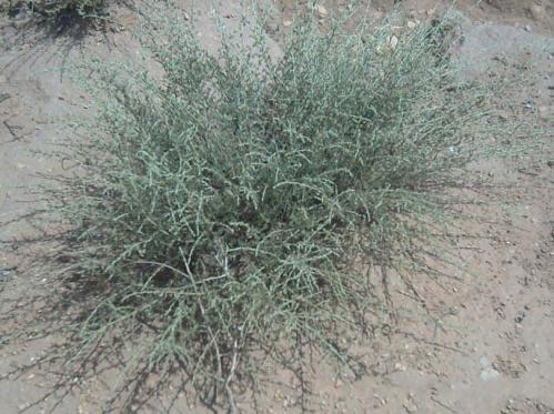 نبات الشيح