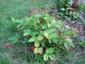نبات الفريز