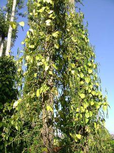 نبات الفلفل المتسلق