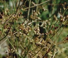 نبات الكراويه مع بذور ناضجة