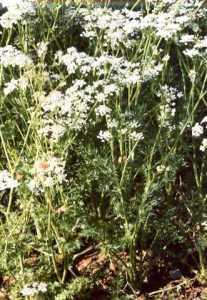 نبات الكراويه