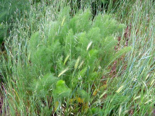 نبات اليانسون