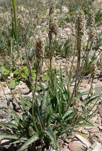 نبات حشية البراغيث (القطونا )