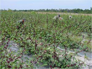 زراعة الكركديه ( الهيبسكس)