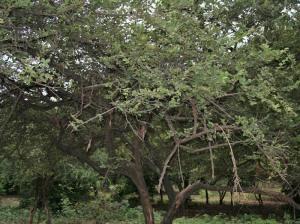 شجرة سدر بثمارها
