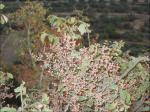 شجرة البطم D8a8d8b7d985