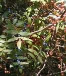 شجرة البطم D8abd985d8a7d8b1-d8a7d984d8a8d8b7d985