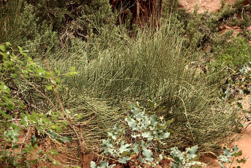 الإفيدرا ذنب الخيل علاج تقليدي للربو و حمى القش ومنشطة لكن انتبه لمحاذيرها موسوعة النباتات الطبيعية و مستحضراتها