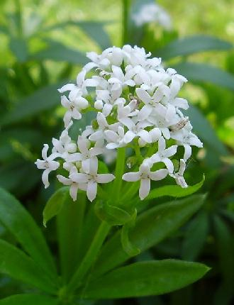 ����� ������ ������� sweet-woodruff_flower.jpg